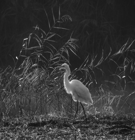 Great White Egret - misty morning-
